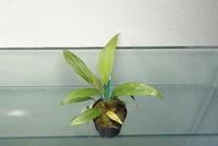 "Homalomena sp. ""Gn. Saran KL"" - PlantsCade -2nd effort"
