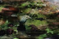 メボソムシクイの水浴び - 野鳥公園