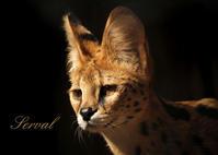 サーバル:Serval - 動物園の住人たち写真展(はなけもの写眞店)