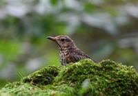 クロツグミ - 可愛い野鳥たち 2