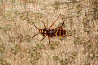 オオトラカミキリ - Insect walk