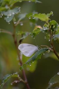 ヒメシロチョウ - 超蝶