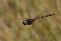 再会(2)と驚きの出会い - 蝶と蜻蛉の撮影日記