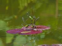 ギンヤンマのメスを巡る攻防戦Byヒナ - 仲良し夫婦DE生き物ブログ