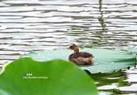 蓮の葉上で一休み カルガモ子供 - azure 自然散策 ~自然・季節・野鳥~