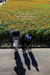 ひまわり畑4回目<午後の部> - my FHOTO