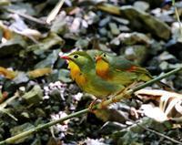 仲の良いソウシチョウ・・・ - 一期一会の野鳥たち