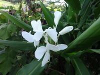 花縮砂 - だんご虫の花