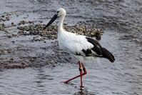 コウノトリ大きな川で その4(至近・中島からの飛び出し) - 私の鳥撮り散歩