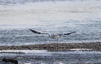 コウノトリ 大きな川で その5(飛翔) - 私の鳥撮り散歩
