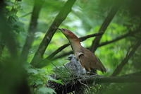 ミゾゴイ2  Ⅰ親の担当交代 - 気まぐれ野鳥写真
