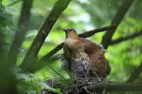 ミゾゴイ2 Ⅲ親に包まれて - 気まぐれ野鳥写真