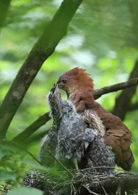 ミゾゴイ2 Ⅱ危険な給餌 - 気まぐれ野鳥写真
