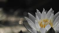 Water lily - 瞳の記憶