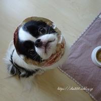 和犬茶々丸☆玄米始める - 狆の茶々丸