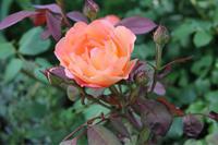 そろそろバラと向き合おう - my small garden~sugar plum~