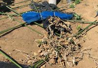 台風一過の畑 - ぬるぅい畑生活