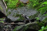 水浴びアカゲラオオルリ - 鳥さんと遊ぼう