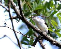 北摂山間のサンショウクイを・・・ - 一期一会の野鳥たち
