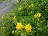 ランタナ - だんご虫の花