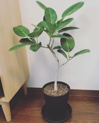 観葉植物デビュー。 - うさまっこブログ
