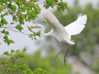白い妖精 - 『彩の国ピンボケ野鳥写真館』