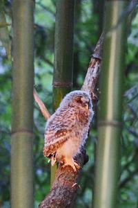 フクロウの雛 32018-09-12更新 - 夕陽に魅せられて・・・