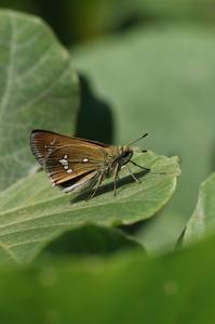 河原のミヤマチャバネセセリと高原のチョウ - 蝶超天国