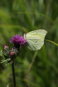ヤマキチョウその1吸蜜真っ盛り - 蝶超天国