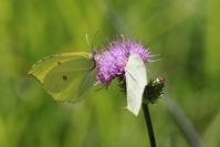 ヤマキチョウその2吸蜜を満喫 - 蝶超天国