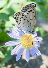#チョウ 『蝶と花』butterfly・Wildflowers - 自然感察 *nature feeling*