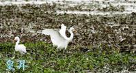 新しい遊水地での撮影、まだ珍鳥はおりませんので、どこにでもいるサギをアツプとあいなりました。誠 - 皇 昇