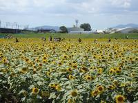 『大垣のヒマワリと各務原市の木曽川水園へ』 - 自然風の自然風だより