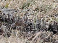 田んぼにいたヒバリ - コーヒー党の野鳥と自然 パート2