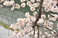 大岡川の桜 - 僕の足跡