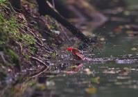 遠征アカショウビン8日 - 今日も鳥撮り