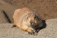 プレーリードッグとニホンリスと激レア!?ミミナガヤギ(江戸川区自然動物園) - 続々・動物園ありマス。