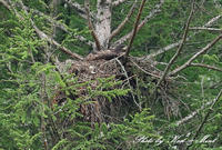 ⑪北の大地「オジロワシ」さん親子♪こっこが可愛かった^^ - ケンケン&ミントの鳥撮りLifeⅡ