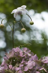 御岳山レンゲショウマと紫陽花。 - MIRU'S PHOTO