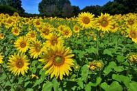 みちのく向日葵3 - みちのくの大自然