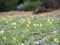 ちっちゃな花の気持ちになって - 花散歩写真 in Vancouver