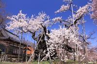 来年は開花はいつでしょうか?北杜市実相寺の神代桜 - Hotel Naito ブログ 「いいじゃん♪ 山梨」