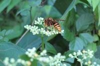 ■キイロスズメバチ18.8.29 - 舞岡公園の自然2