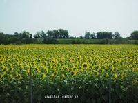 ラヴェンナ郊外のひまわり畑~♪@イタリア旅行 - アリスのトリップ