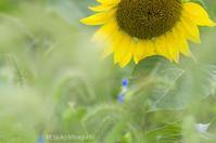 儚いヒマワリ - ekkoの --- four seasons --- 北海道