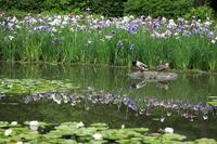平安神宮花菖蒲と睡蓮 - ぴんぼけふぉとぶろぐ2
