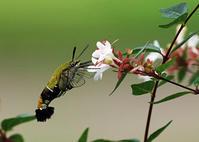8月の蛾から2018 - 公園昆虫記