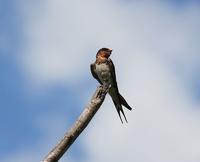 今日の鳥さん180829 - 万願寺通信