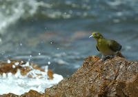 夏の終わりに・・(3)アオバト - 野鳥・つばさ@信州安曇野