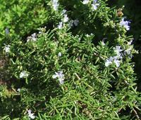 古くから利用されてきたハーブ - 神戸布引ハーブ園 ハーブガイド ハーブ花ごよみ